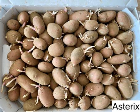Å sette poteter