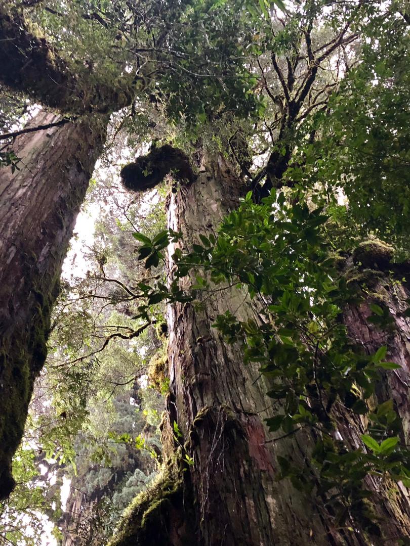 El Alerce - Pumalin Park