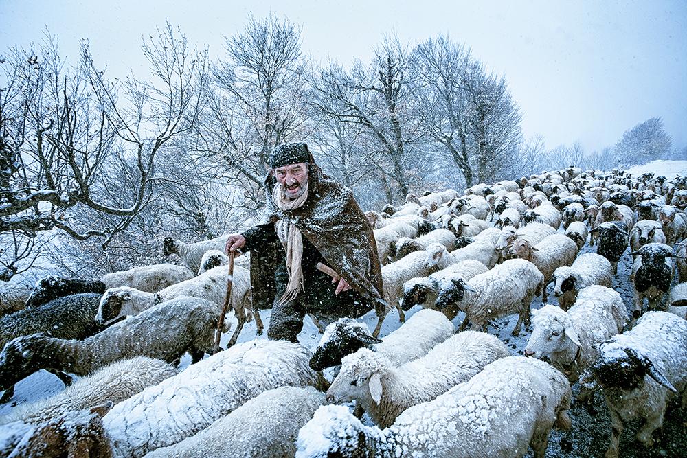 Sheep herding in Iran