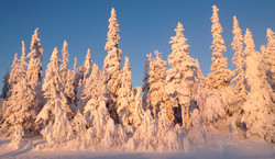 fluffy trees