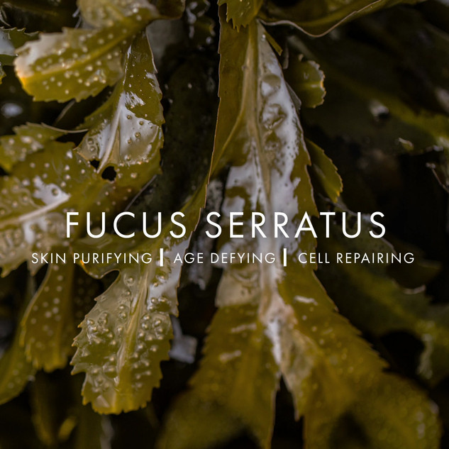 VOYA FUCUS SERRATUS.mp4