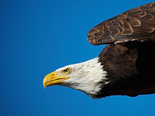 eagle_shutterstock_62731219.jpg