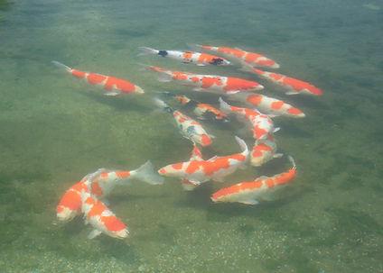錦鯉 立て鯉