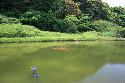 TATEGOI 立て鯉