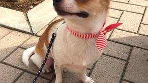 【卒業犬 チワのすけ】1歳すぎてからのトイレトレーニング(埼玉県川口市)