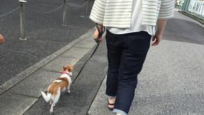 【卒業犬 チワのすけ】お散歩トレーニング(埼玉県川口市)