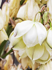 Chaparral Yucca Blossom