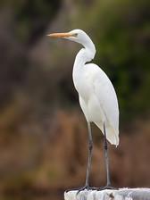 Ardea Modesta Bird
