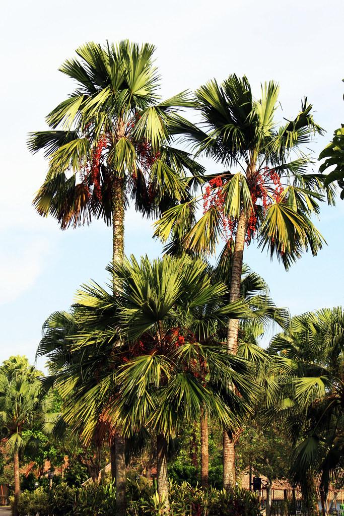 Manija Palm (Adonidia Merrillii)