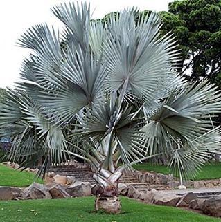 Silvar Palm (Coccothrinax argentata)