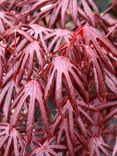 Acer Trompenburg - Japanese Maple