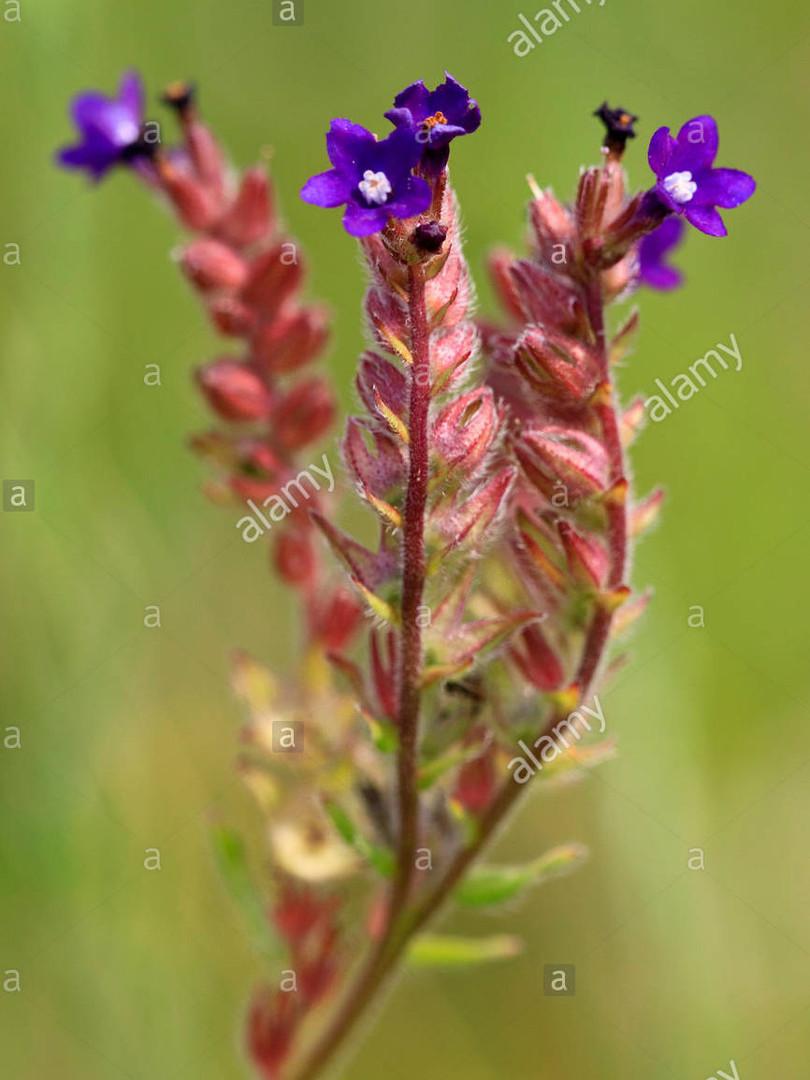 Common bugloss or Anchusa bugloss