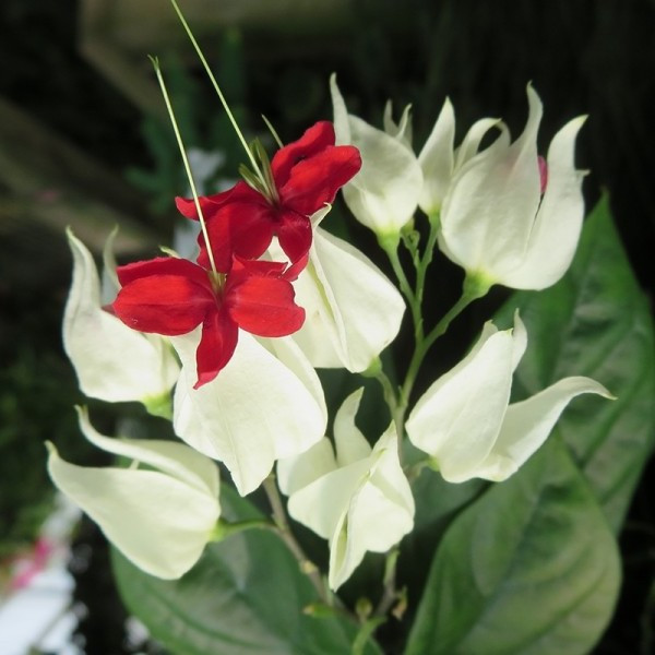 Bleeding-heart vine (clerodendrum thomsoniae)