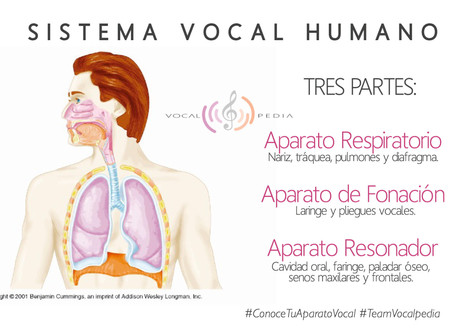 El sistema vocal humano