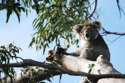 Koala on the Great Ocean Walk