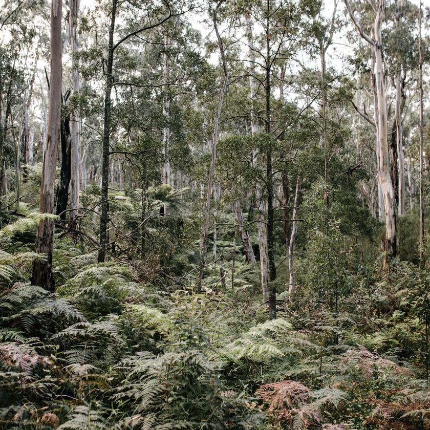 Otways gum trees