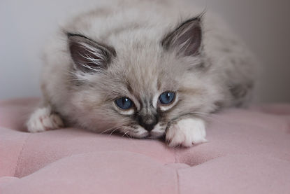 florence seal tabby mitted.jpg