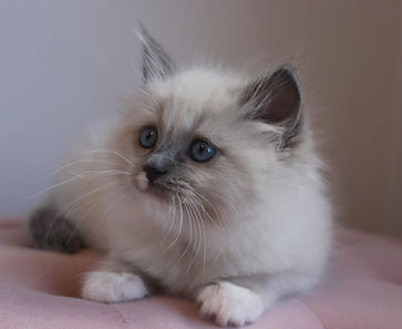 coco blue mitted.jpg