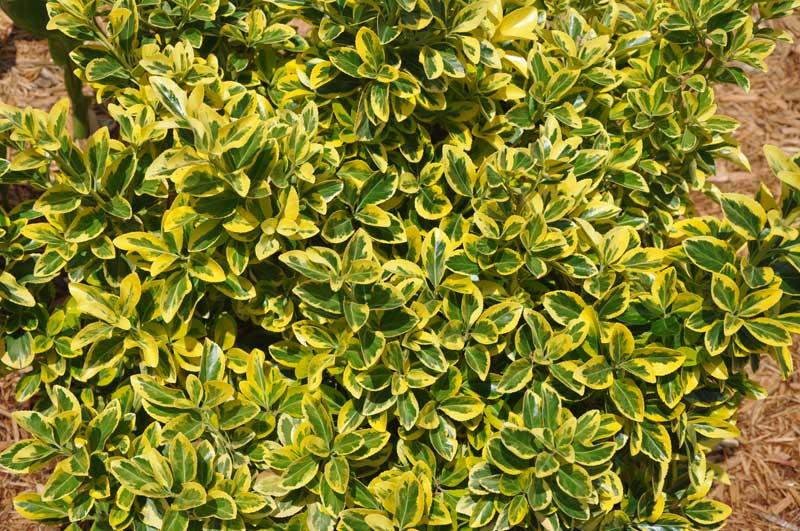Golden Euonymus Aureo Marginata