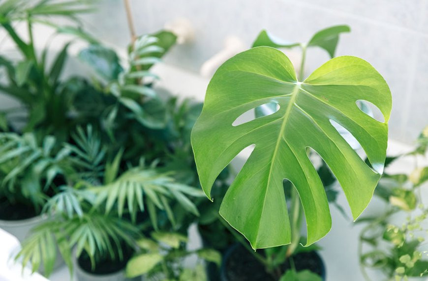 Monstera Plants In Redcar