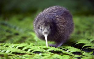 Kiwi Bird.jpg