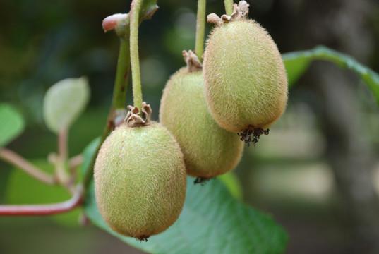 Kiwi Fruit of course