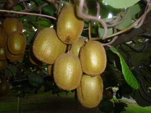 Kiwifruit on the Vine