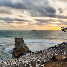 gannet colony 2.jpg