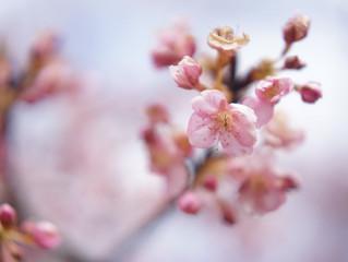 一足早い桜撮影会 午前残り1枠です