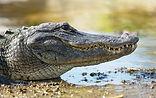 crocodile, Mexique