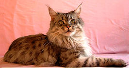 maine coon black silver spotted tabby