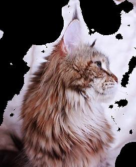 elevage maine coon chaton mayenne  pays de la loire