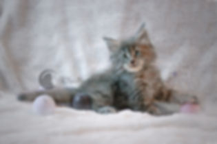 chaton maine coon blue tortie blotched tabby