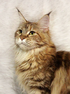 maine coon brown tortie blotched tabby