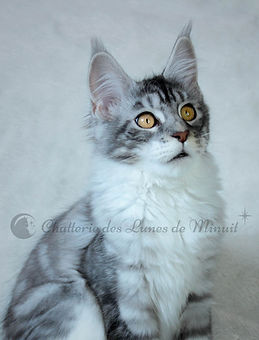maine coon black silver blotched tabby et blanc