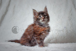 chaton maine coon brown tortie