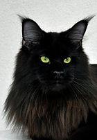 Maine Coon black