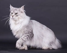 maine coon shaded