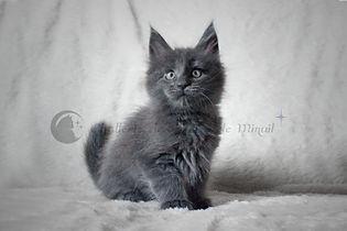 maine coon chaton bleu