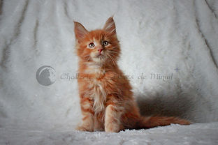 maine coon chaton roux red