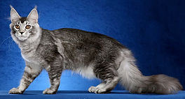 maine coon black silver ticked tabby