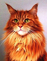 Maine Coon red