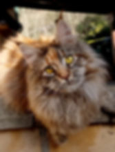 elevage maine coon chaton mayenne  pays de la loire Naikari de Asasu