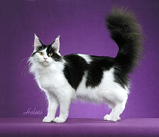 maine coon arlequin