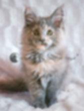 chaton maine coon bleu tortie lunes de minuit elevage chatterie chaton france pays de la loire mayenne