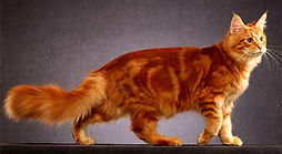 Maine coon red blotched tabby