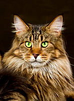 Maine Coon brown