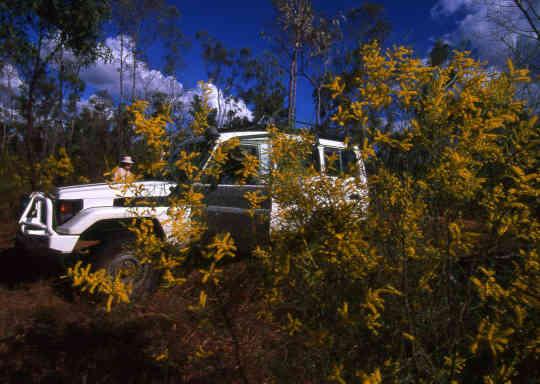 Wattle Tree