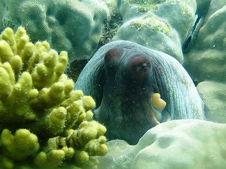 Octopus at Lizard Island