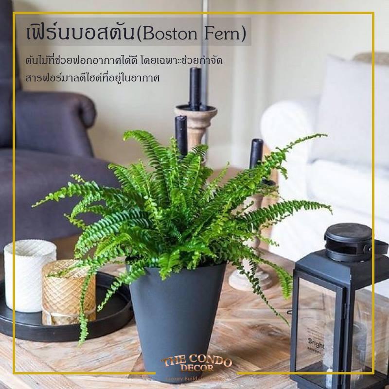 ต้นเฟิร์นบอสตัน ต้นไม้ปลูกในห้องนอน |  THE CONDO DECOR  แพ็กเกจแต่งคอนโดราคาถูกกรุงเทพ